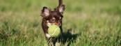 Photo of a Chihuahua puppy playing with a tennis ball