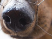Photo of a Dachshund with his nose in a wire fence