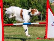 Dog crashing through a jump