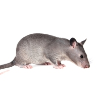 Scent Detection Rats Making a Difference